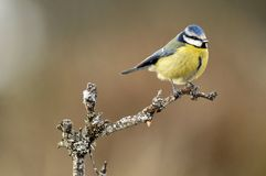 A tit on a twig Royalty Free Stock Images