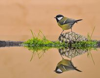 Tit in the water. Tit on a pine cone into the trough Stock Photos