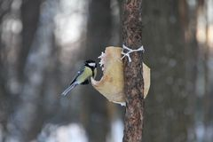 Tit in winter arrived eat lard. City Park, Russia Stock Photography