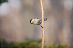 Tit in the winter. Royalty Free Stock Images