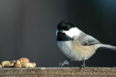 Tit on wood. Black tit on wood eating peanut Royalty Free Stock Images