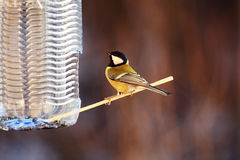 Tit on a wooden stick Stock Photo