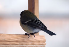 Tit with yellow plumage sitting at wood feeder alone view ro. Tit with yellow plumage sitting at the wood feeder alone view rom back Royalty Free Stock Photo