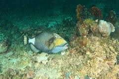Titaan triggerfish Stock Foto's