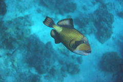 Titaan triggerfish Royalty-vrije Stock Fotografie