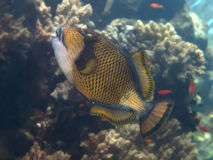 Titaan triggerfish Stock Afbeelding