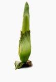 Titan Arum / Corpse plant isolated Stock Photography