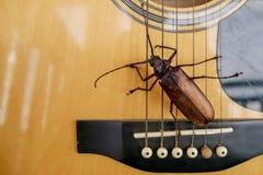 Titan longhorn beetle playing guitar. Titan longhorn beetle on guitar, guitar neck and string with big insect, guitar hero Royalty Free Stock Photography