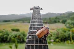 Titan longhorn beetle playing guitar. Titan longhorn beetle on guitar, guitar neck and string with big insect, guitar hero Stock Photography