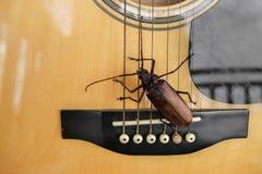 Titan longhorn beetle playing guitar. Titan longhorn beetle on guitar, guitar neck and string with big insect, guitar hero Royalty Free Stock Photo