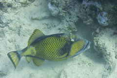 Titan Trigger Fish Royalty Free Stock Photography