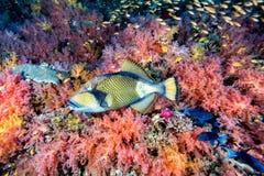 Titan trigger fish in Maldives Stock Photo