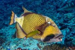 Titan trigger fish in Maldives Royalty Free Stock Photos