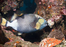 Titan Triggerfish Royalty Free Stock Photography