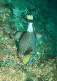 Titan triggerfish Royalty Free Stock Images
