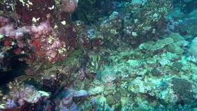 Titan triggerfish Balistoides viridescens in coral of Red sea Sudan. Shaab Rumi stock video footage