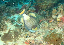 Titan triggerfish Royalty Free Stock Image