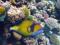 Titan triggerfish and coral Stock Images