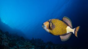 Titan triggerfish in a coral reef stock photo