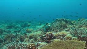 Titan Triggerfish on a coral reef. 4K. Titan Triggerfish on a colorful coral reef with plenty fish. 4k footage stock video footage