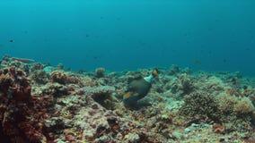 Titan Triggerfish on a coral reef. 4K. Titan Triggerfish on a colorful coral reef with plenty fish. 4k footage stock video