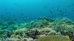 Titan Triggerfish on a coral reef. 4K stock footage