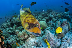 Titan triggerfish Stock Images