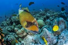 Titan triggerfish Stock Images