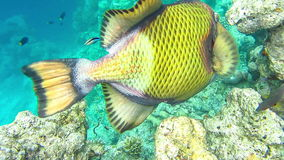 Titan triggerfish feeding from coral reef, underwater at Maledives stock video