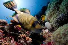 Titan triggerfish, ocean and sun Royalty Free Stock Image