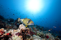Titan triggerfish, ocean and sun Royalty Free Stock Photo