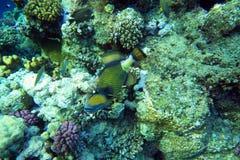 Titan triggerfish Royalty Free Stock Photo