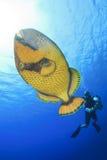 Titan Triggerfish and Scuba Diver Royalty Free Stock Photos