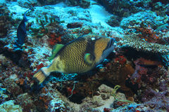 Titan triggerfish Stock Photos