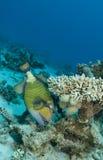 Titantriggerfische Stockbild