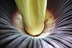 Titanum d'Amorphophallus Images libres de droits