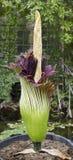 Titanum d'Amorphophallus, arum de titan, fleur de cadavre Image libre de droits