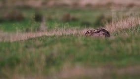 Titel: braune Hasen, Lepus europaeu, Sitzen/Stillstehen/versteckend innerhalb des Grases bewegungslos stock video