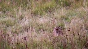 Titel: braune Hasen, Lepus europaeu, Sitzen/Stillstehen/versteckend innerhalb des Grases bewegungslos stock footage