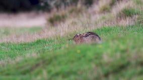 Titel: brun hare, Lepuseuropaeu, sitta/vila/nederlag inom orörligt gräs arkivfilmer
