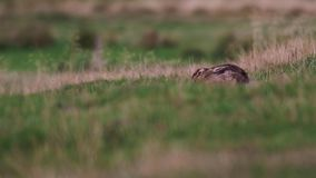 Titel: brun hare, Lepuseuropaeu, sitta/vila/nederlag inom orörligt gräs stock video