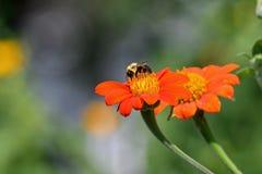 Tithonia in de tuin stock afbeelding