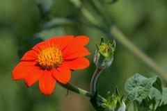 Tithonia in de tuin stock afbeeldingen