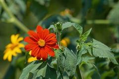 Tithonia in de tuin royalty-vrije stock afbeeldingen
