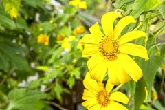 Tithonia Diversifolia Royalty-vrije Stock Foto's