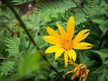 Tithonia Diversifolia Στοκ Φωτογραφίες
