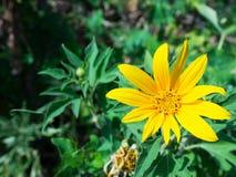 Tithonia Diversifolia Στοκ φωτογραφία με δικαίωμα ελεύθερης χρήσης