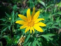 Tithonia Diversifolia Στοκ Εικόνες