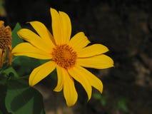 Tithonia diversifolia eller japansolros Royaltyfria Foton