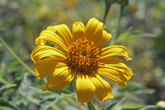 Tithonia diversifolia, Giant Mexican Sunflower, Japanese sunflow. Er Stock Photography